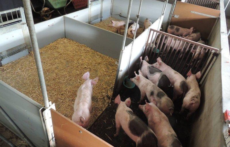 De dieren moeten leren om het rooster te gebruiken als 'varkenstoilet'.