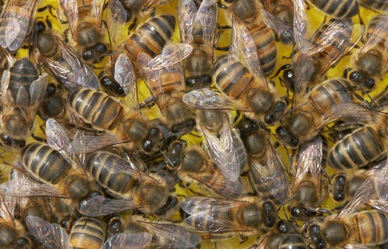 Gezonde honingbijen, massaal aanwezig op een raat.