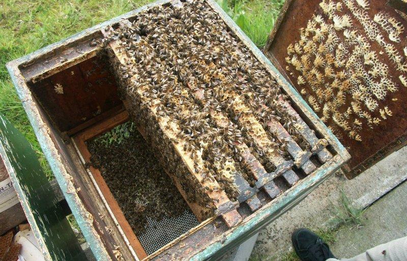 Wintersterfte als gevolg van een varroabesmetting.