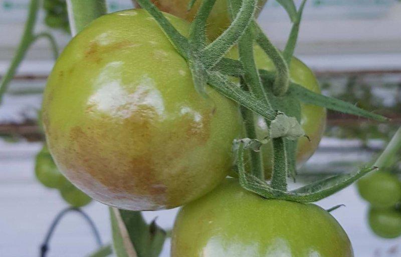 Onrijpe vruchten met bruine vlekken, aangetast door het tomatenvirus ToBRFV.