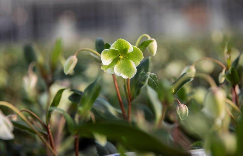 Bloemen van Helleborus Four Seasons zijn wit/groen.