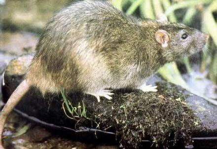 Het RIVM onderzoekt het toenemende aantal ratten en de gevaren daarvan voor de volksgezondheid.