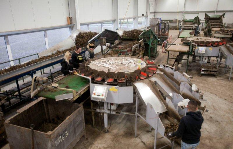 Medewerkers controleren knollen bij sorteermachines.