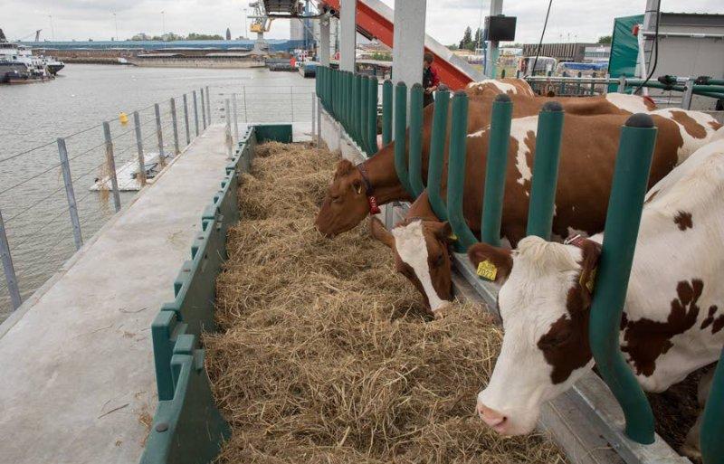 De koeien op de Floating Farm. Foto: Dirk Hol