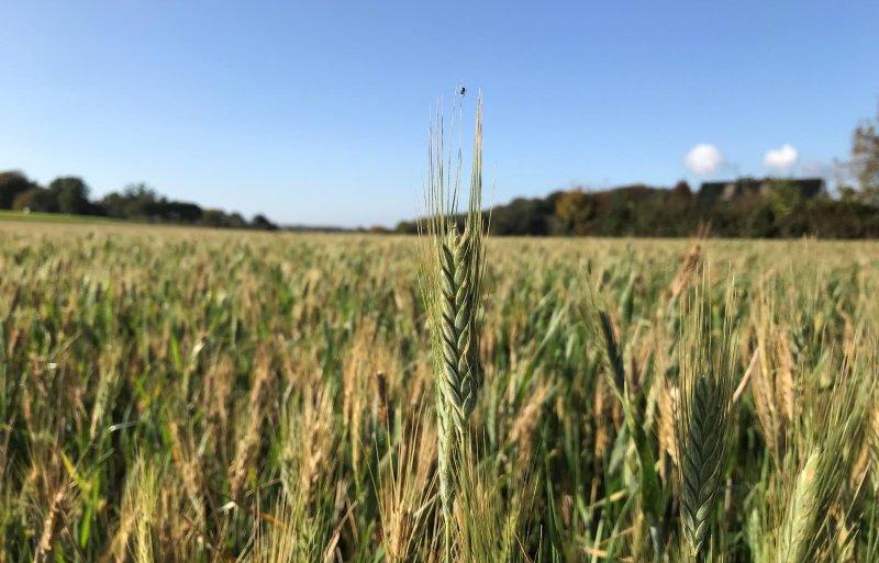 De tweede opkomst van het Spaanse graan is geschikt als groenbemester of grondstof voor eiwitrijk veevoeder.