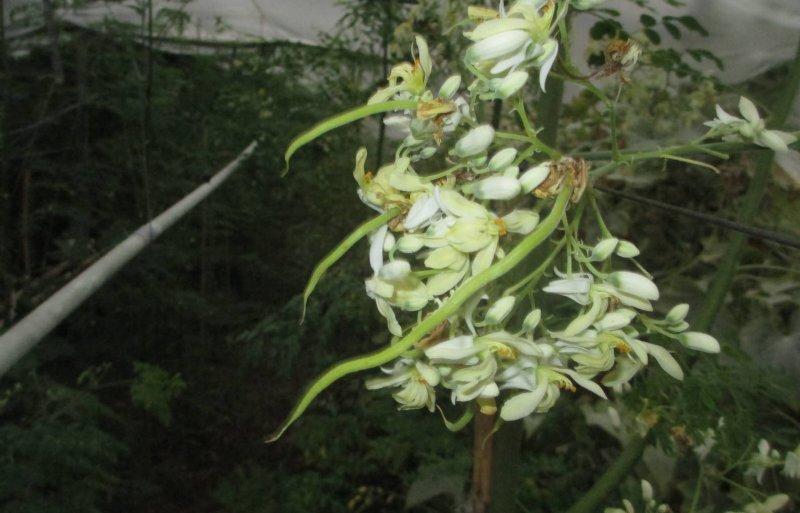 Bladeren, bloemen en peulen van de Moringa oleifera zijn eetbaar.