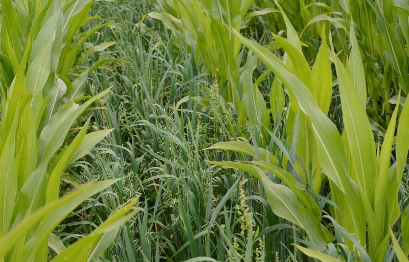 Gelijkzaai: mais en rietzwenkgras gaan tegelijk de grond in.
