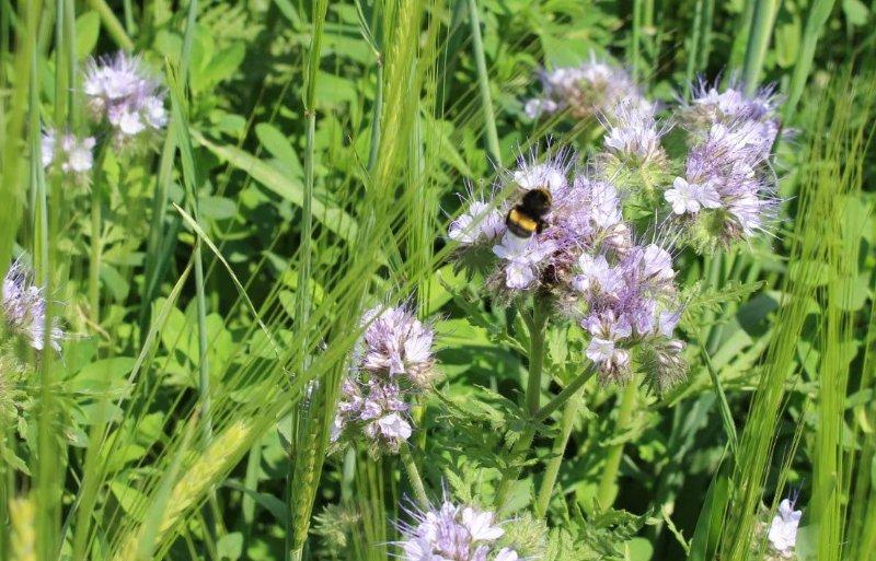 Bescherming nuttige insecten in akkerranden.