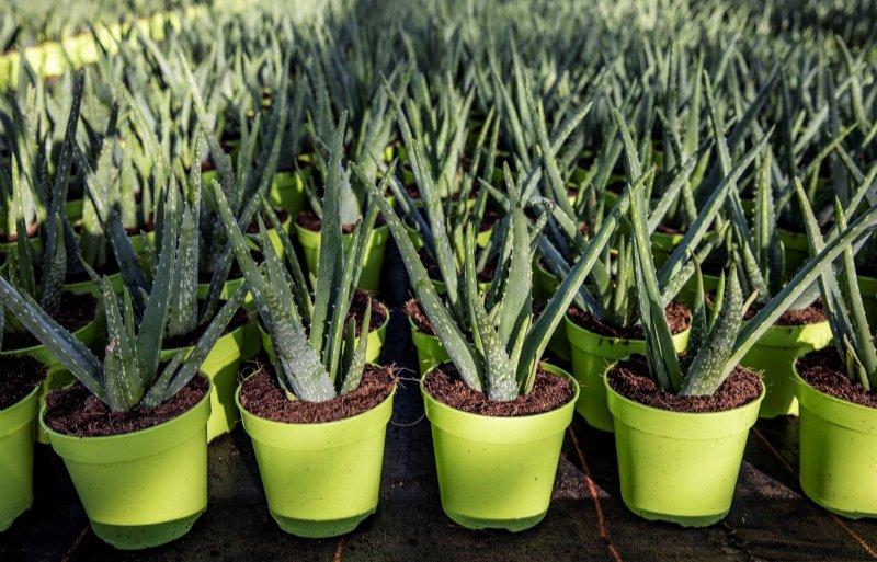 Groene potten wil teler vervangen door kokospotten.
