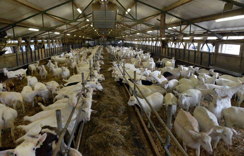 In de oude grupstal houden Levi en Lisette de Lange vierhonderd geiten.