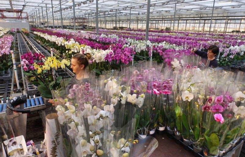 Kwekerij Bernhard teelt rozen en phalaenopsis.