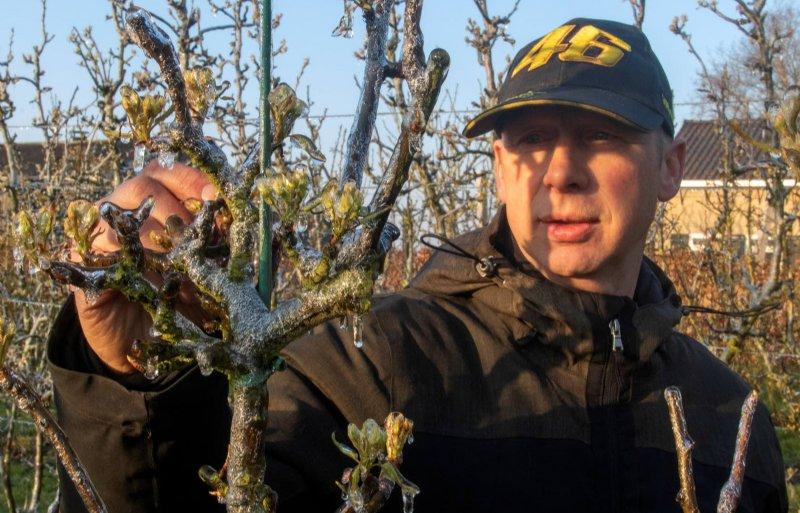 Een ijslaagje beschermt de perenbomen van fruitteler Jan Willem de Jongh in Kraggenburg tegen nachtvorst.
