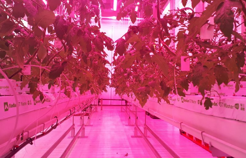 Cherrytomaten groeien onder ledlicht.
