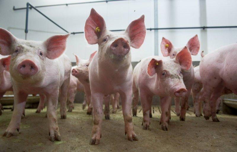 Het gaat erom dat een zeug veel goede vleesvarkens produceert.