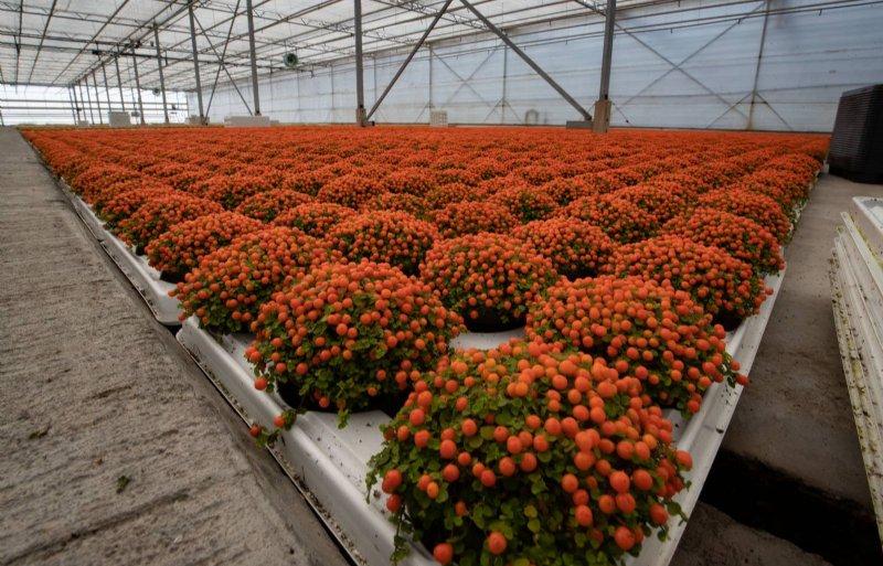 De afkweekkas ziet eruit als een zee van oranje besjes.