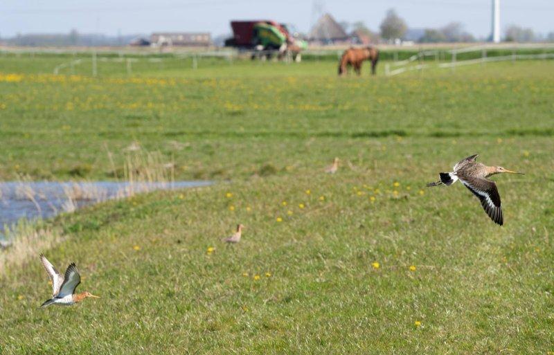 Grutto's in het weidevogelgebied.