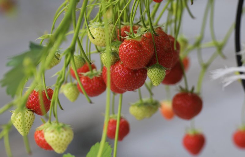 In een verwarmde kas groeien Elsanta-aardbeien.