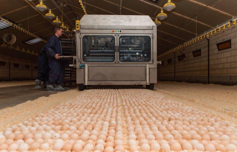 Een machine plaatst de eieren in de stal.