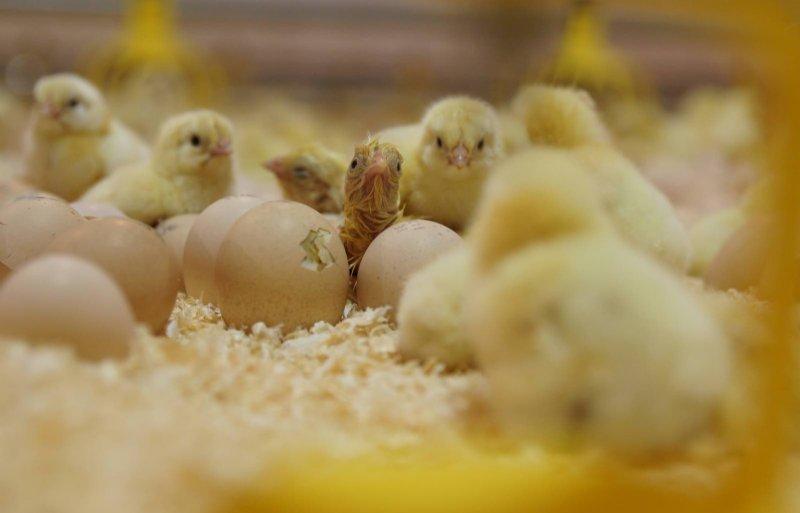 De kuikens komen in de stal uit het ei.