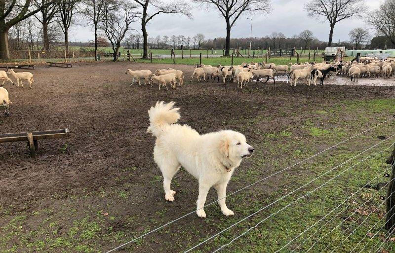 Honden zijn goede kuddebewakers, maar ook gevaarlijk.