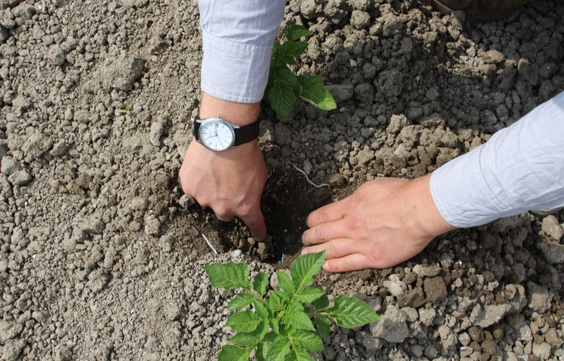De fertigatieslang ligt in de aardappelrug onder de aardappelplantjes.