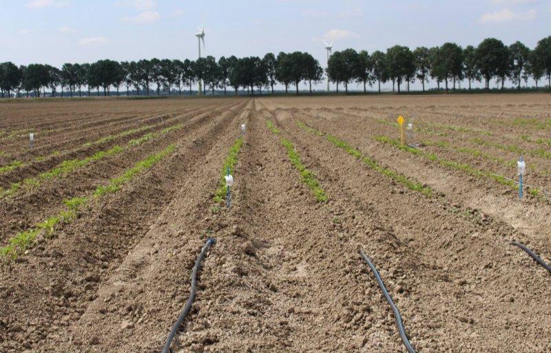 De fertigatieproef wordt uitgevoerd met twee aardappelhybriden van veredelingsbedrijf Solynta.