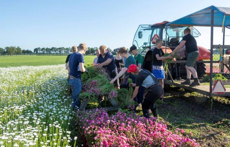 Scholieren helpen bij het oogsten van droogbloemen bij Kroeze in Huis ter Heide