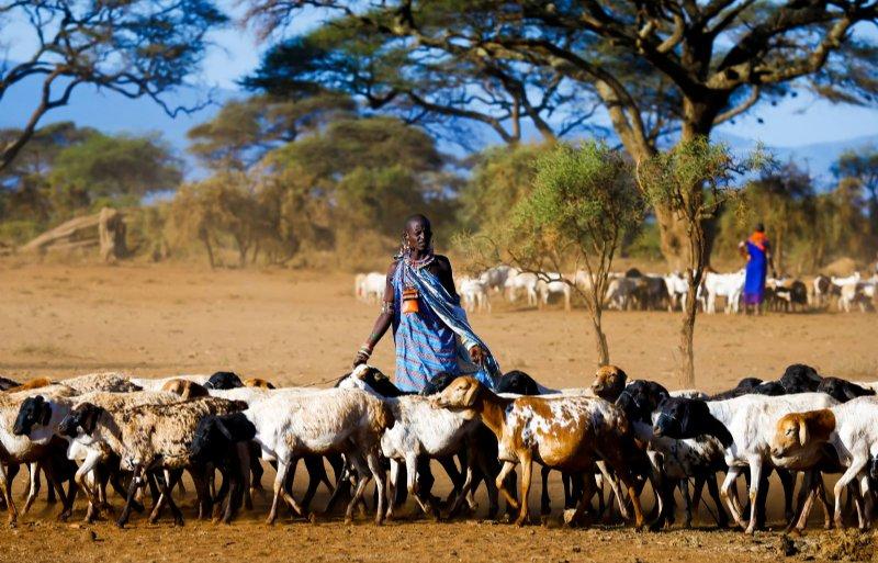 Keniaanse Masai schaapherders zijn gedupeerd door het sluiten van hun traditionele weidegronden.