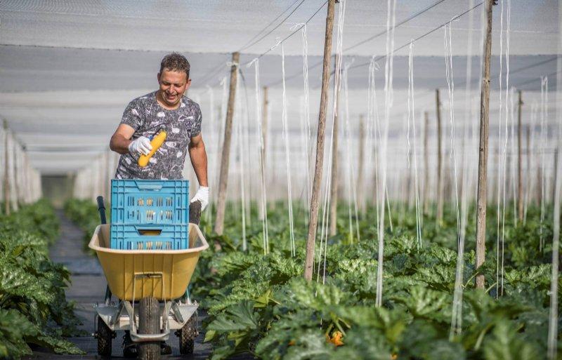 Het oogsten van de courgettes gebeurt handmatig.