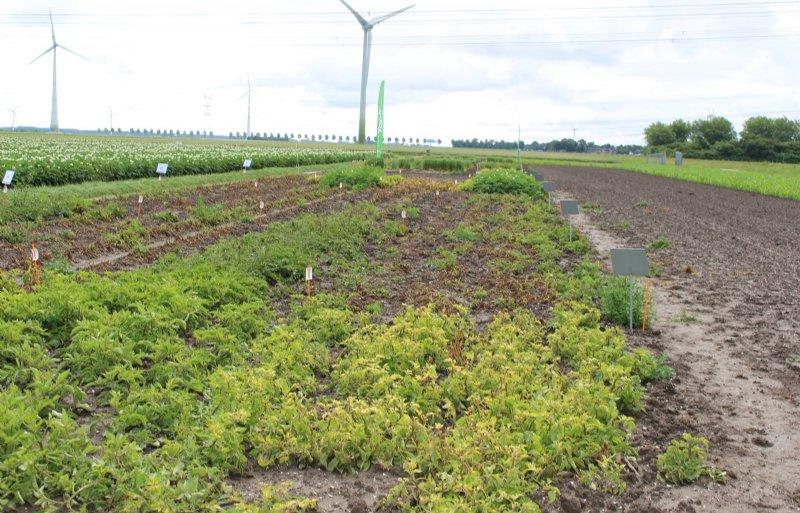 Corteva test in Lelystad de werking van verschillende schema's met herbiciden op aardappelopslag.