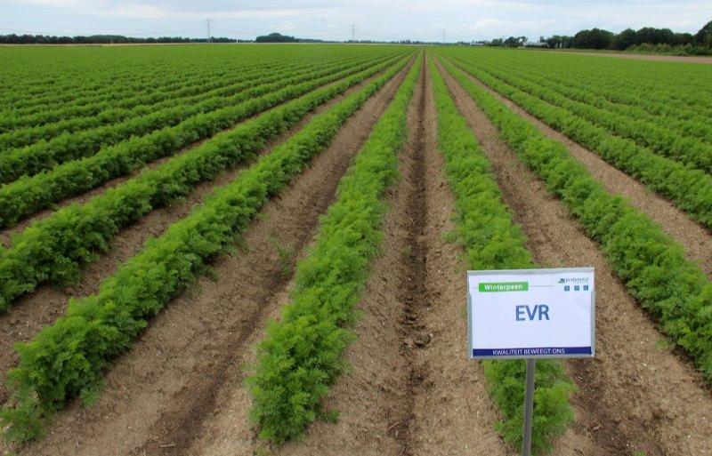 Gebruik van het middel EVR in peen zou meer planten per hectare kunnen opleveren.