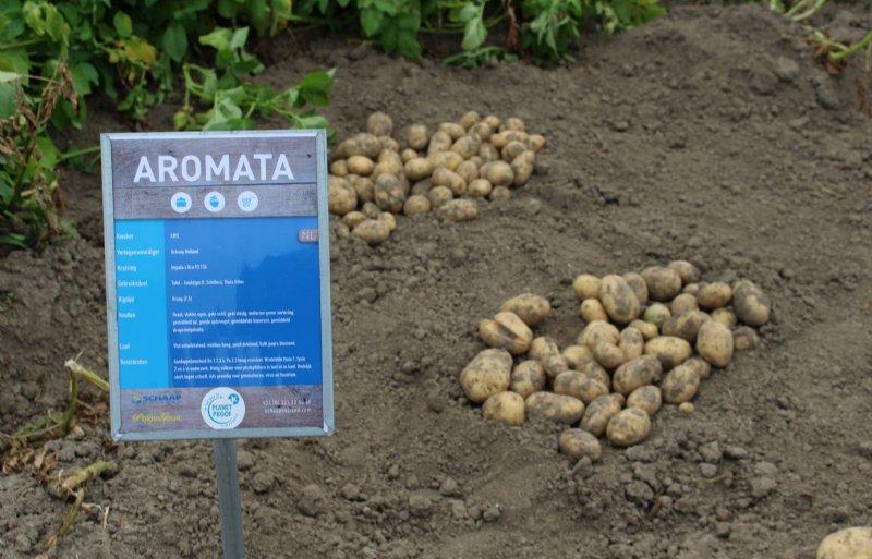 De teelt van het nieuwe ras Aromata is onder meer interessant vanwege de hoogwaardige resistentie tegen aardappelmoeheid.