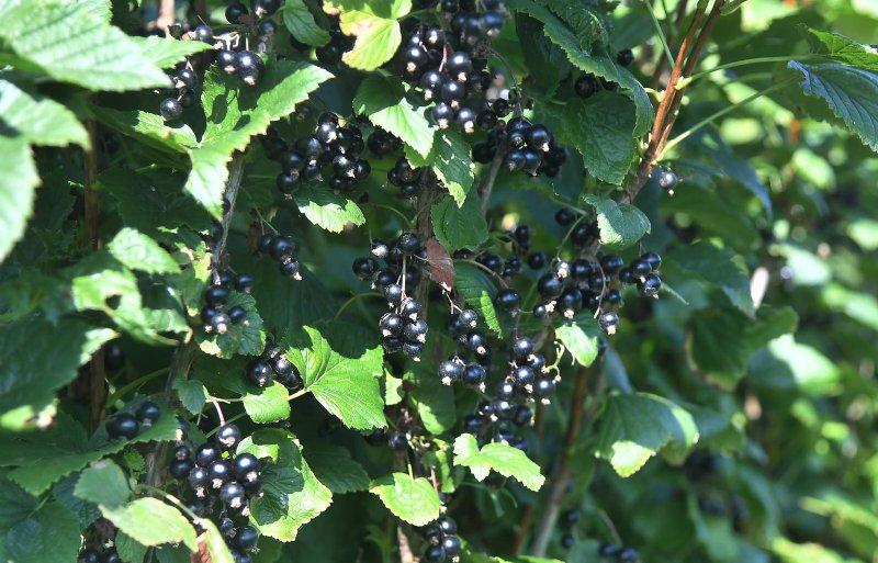 Zwarte bessen bevatten veel vitamines dankzij hun donkere kleur.