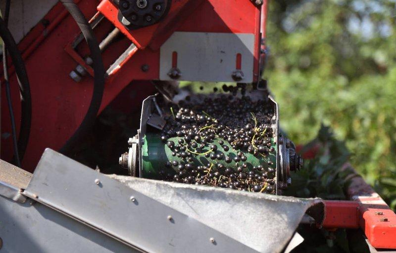 Tijdens de oogst komen de bessen via een band in kistjes terecht.