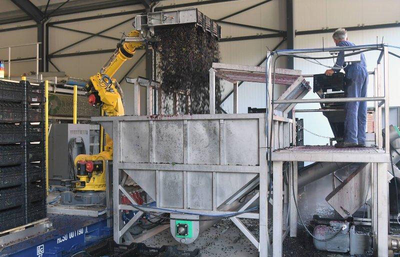 Een robot kiept de gekoelde bessen uit kisten bij Lauran Vermue.