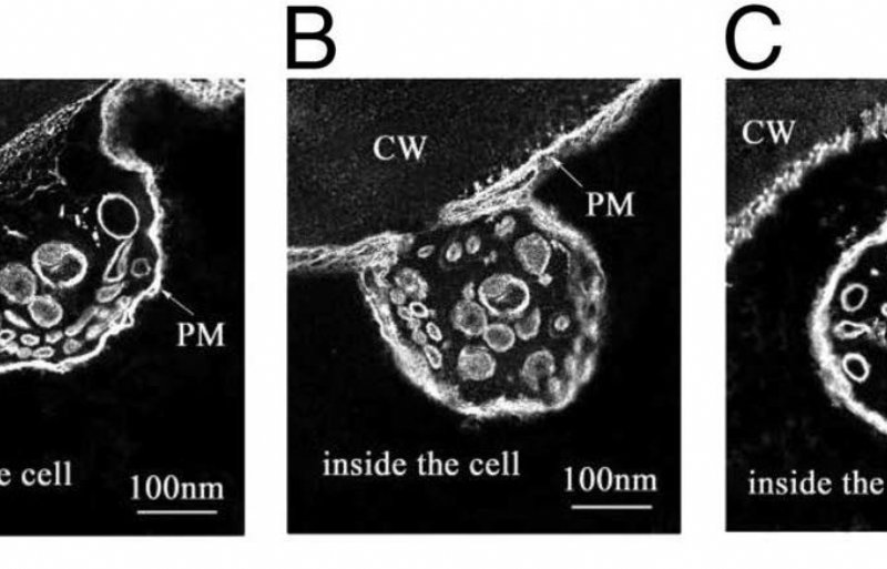 Figuur 1. Opname van nutriënten door blad via endocytose.