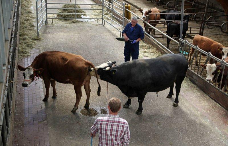 De vierjarige raszuivere stier Tobias doneert sperma voor de genenbank.