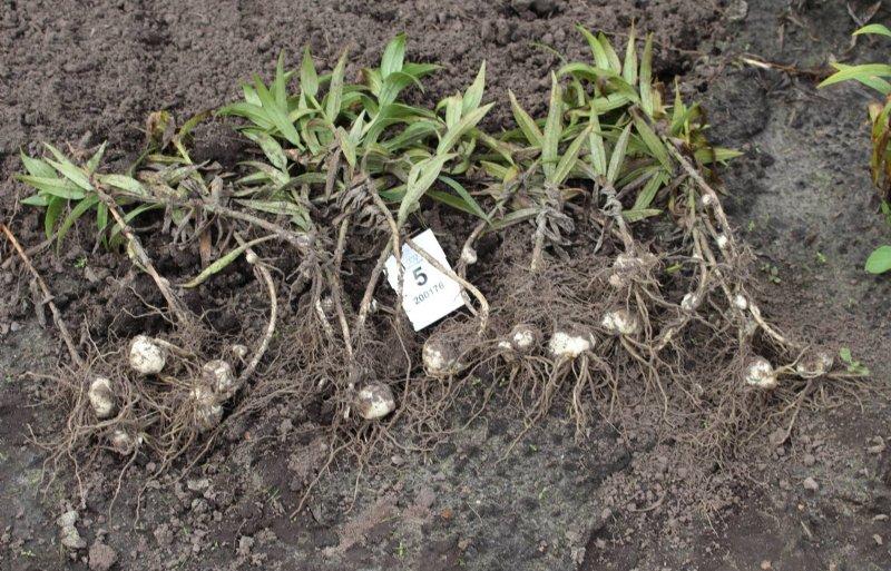 Sommige biostimulanten worden gericht ingezet om de beworteling van lelies te stimuleren.