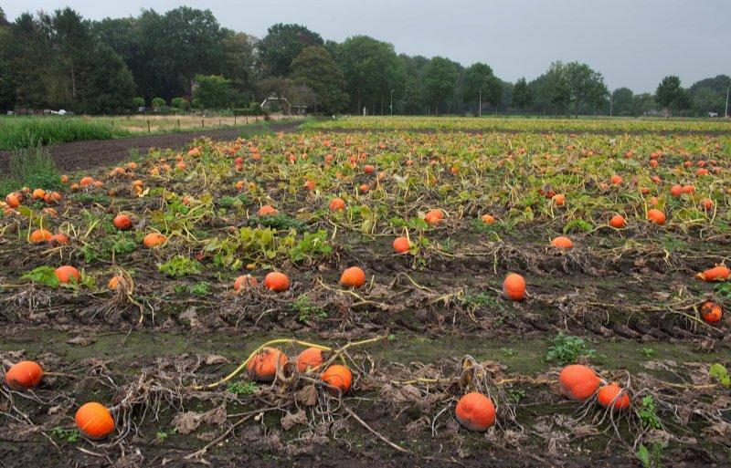 De pompoenen liggen rijp op het veld.