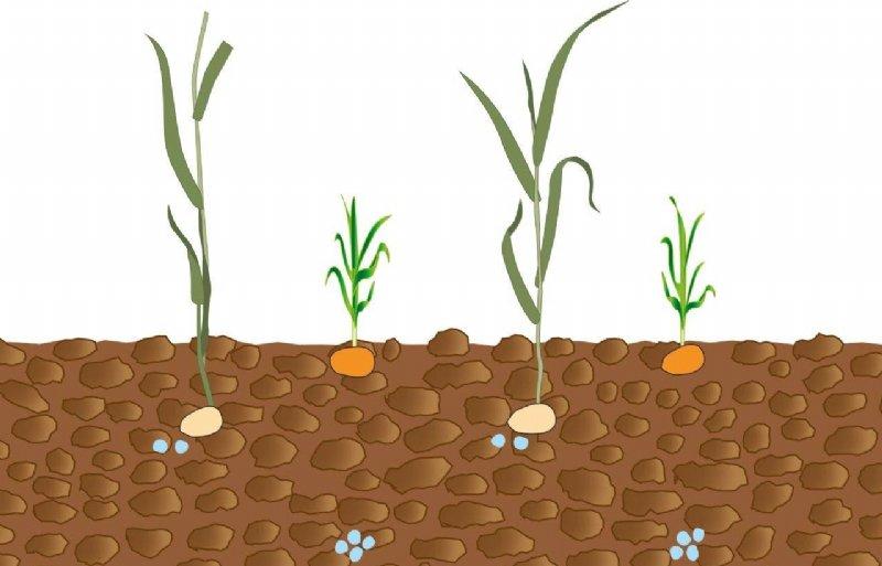 Kunstmest en twee gewassen op verschillende dieptes in de grond gebracht.