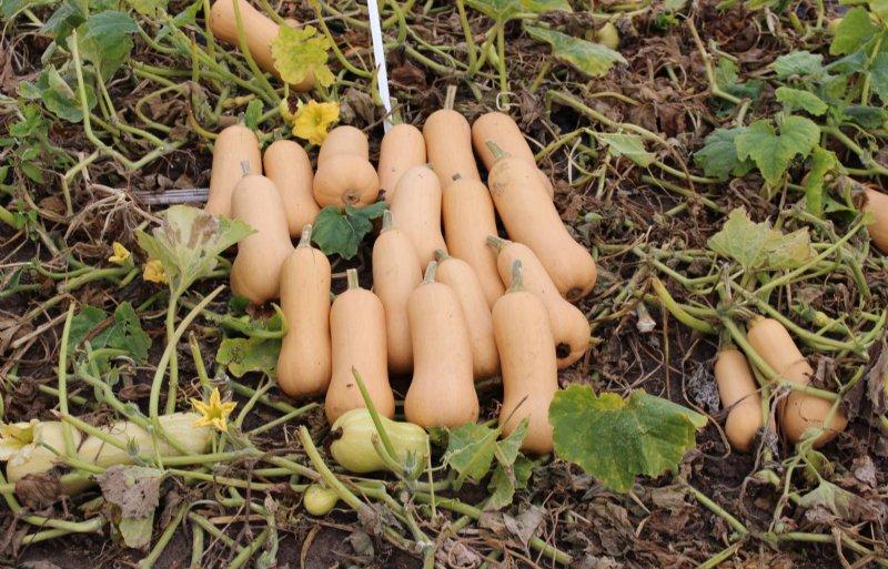 Flespompoenen of butternuts worden in de veredeling aangepast aan minder tropische groeiomstandigheden.