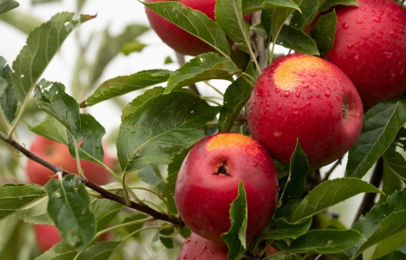 De appels, klaar om te worden geplukt.