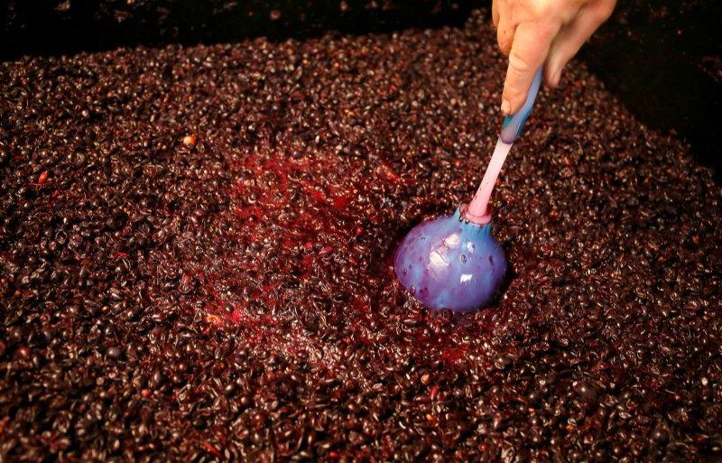 Blauwe druiven met schil gisten in een vat.