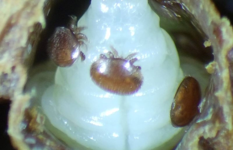 De parasitaire mijt Varroa destructor is de grootste bedreiger van de honingbij.