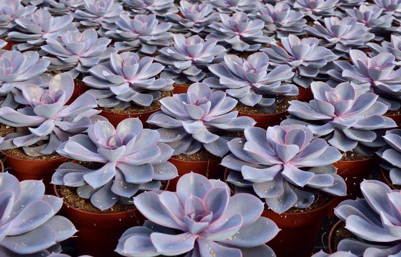 Op de Echeveria purple pearl heeft Ovata kwekersrecht.