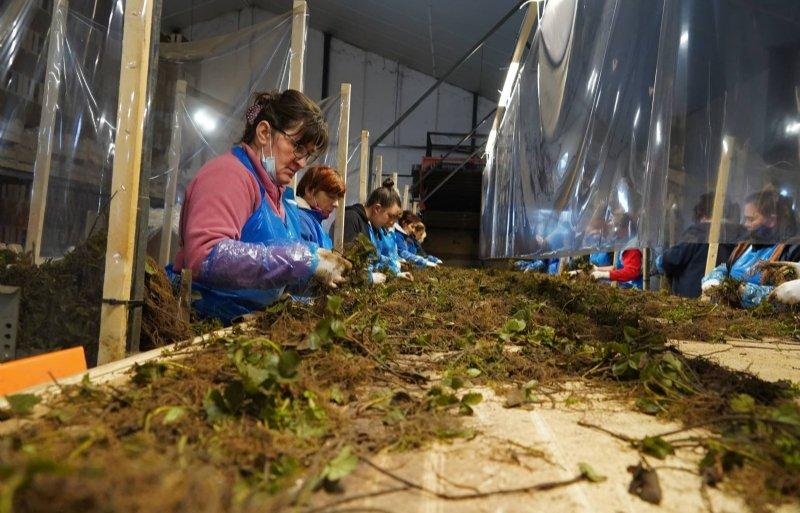 Medewerkers sorteren vers gerooide planten.