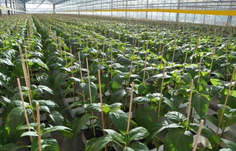 In de winter begint de opkweek van paprikaplanten.