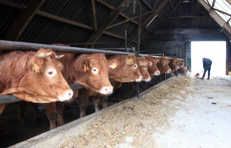 De koeien krijgen de veldbonen over hun voer.