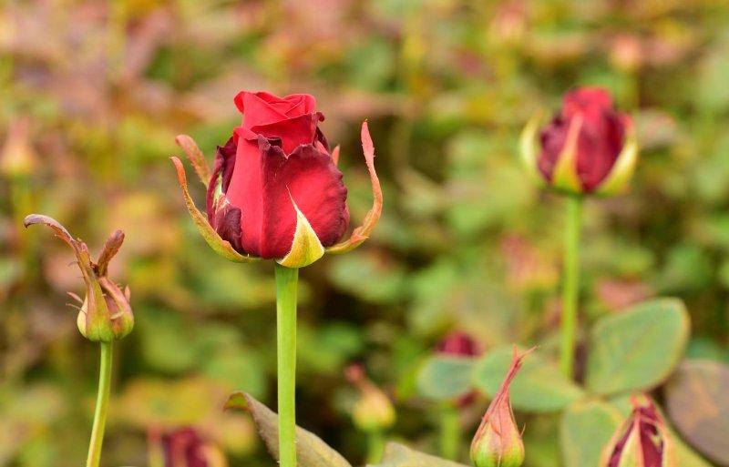 Alle rozen hebben een erg grote knop en een dikke steel.