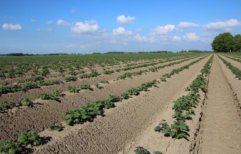 Gofor voor opkomst toepassen voor een onkruidvrije aardappelteelt.